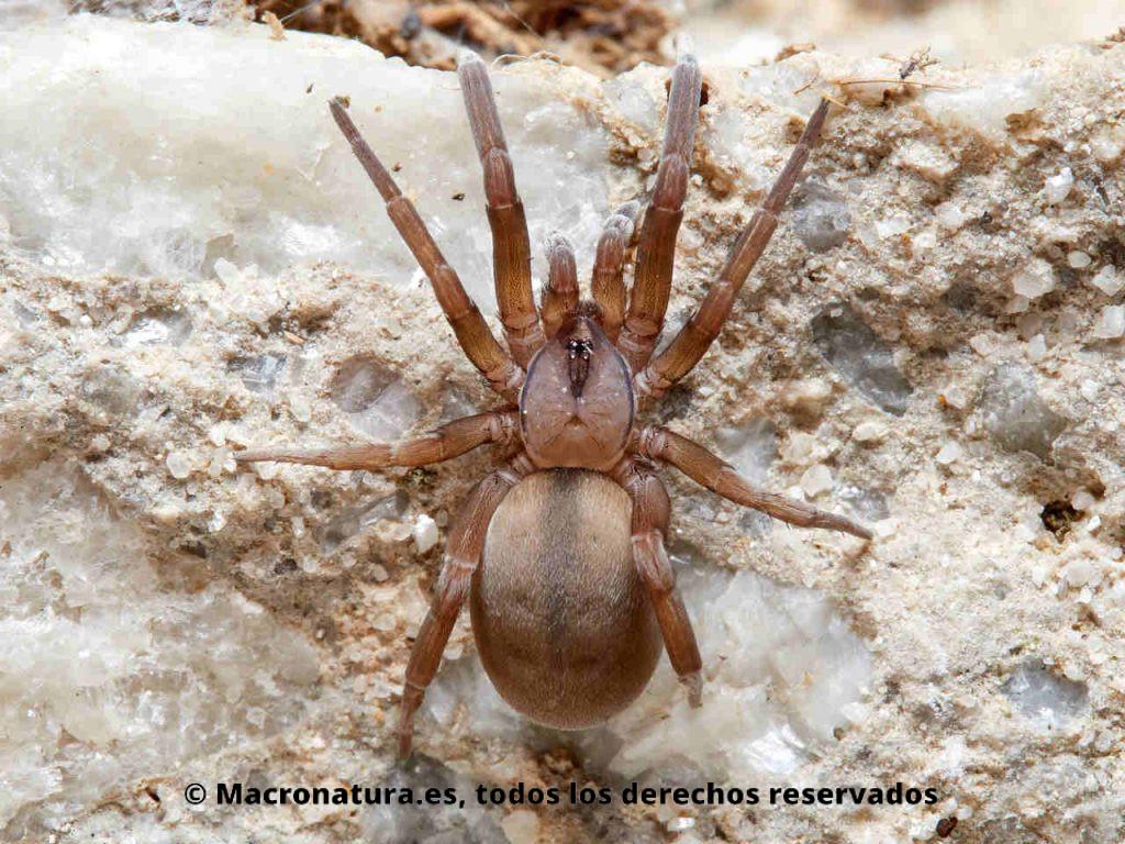 Araña Filistata insidiatrix sobre una piedra. Vista cenital, cuerpo entero.
