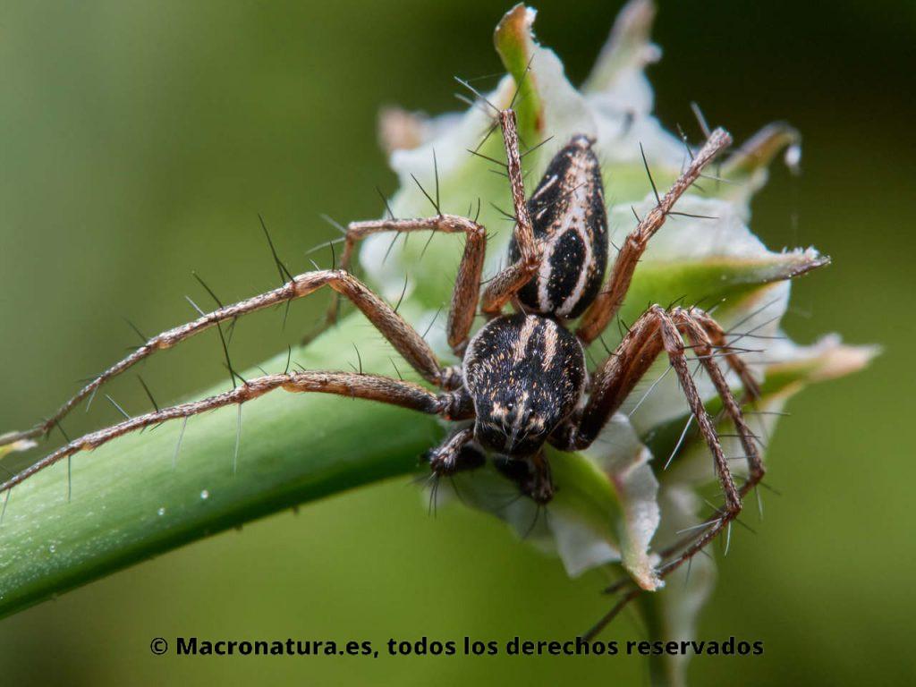 Araña lince Oxyopes heterophthalmus sobre una planta. Vista cenital donde se observan detalles del cuerpo y patas espinosas