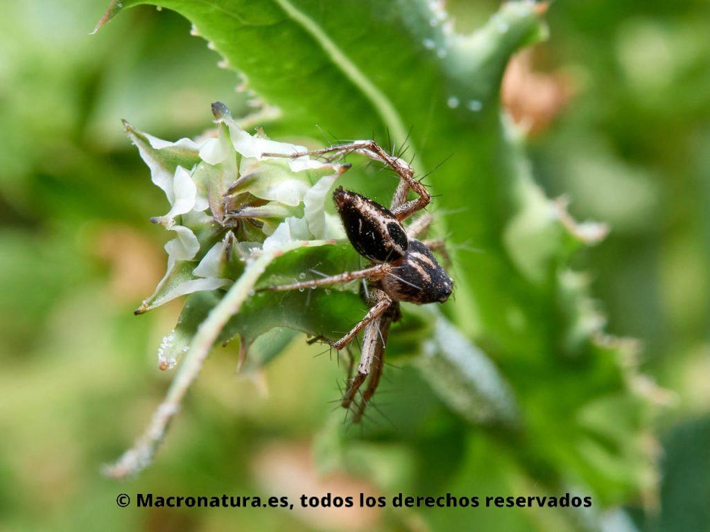 Araña lince Oxyopes heterophthalmus sobre una planta. Detalla de abdomen