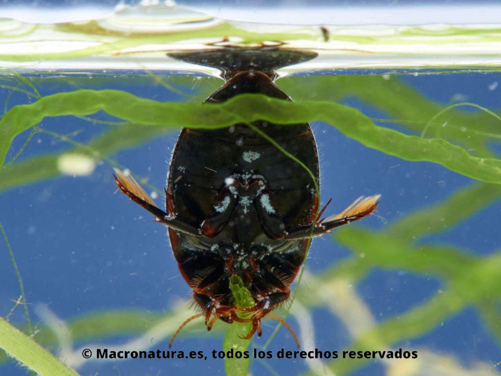 Escarabajo acuático Agabus didymus. Vista ventral.