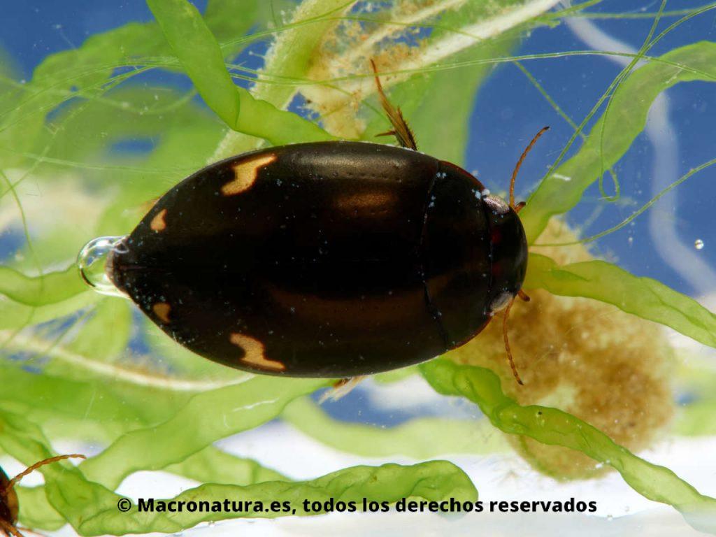 Escarabajo acuático Agabus didymus marcas en forma de N y U