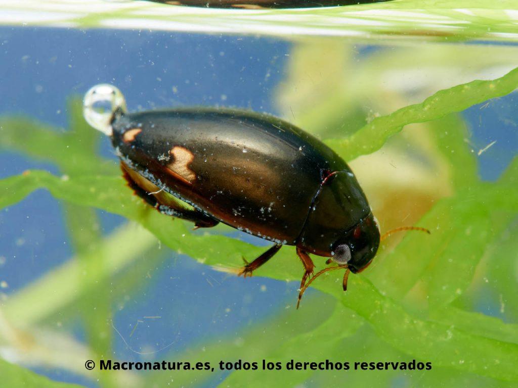 Escarabajo acuático Agabus didymus sobre una planta acuática.