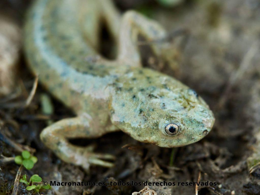 Gallipato Pleurodeles waltl color verdoso