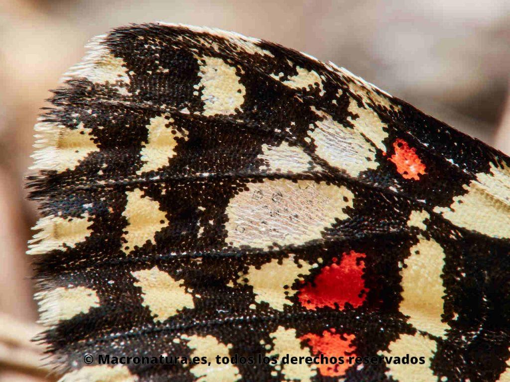 Mariposa arlequín Zerynthia rumina. Detalle de las alas donde se aprecian escamas de color amarillo, negro y rojo.