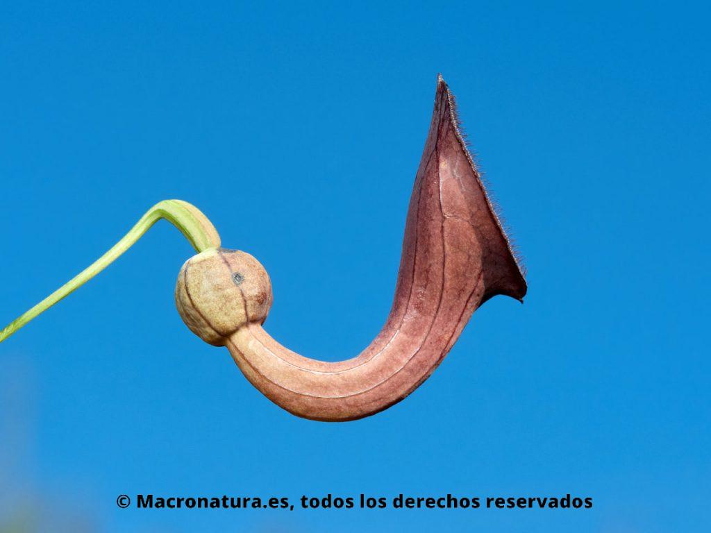 Planta nutricia de las orugas de Mariposa arlequín Zerynthia rumina. Aristolochia baetica.