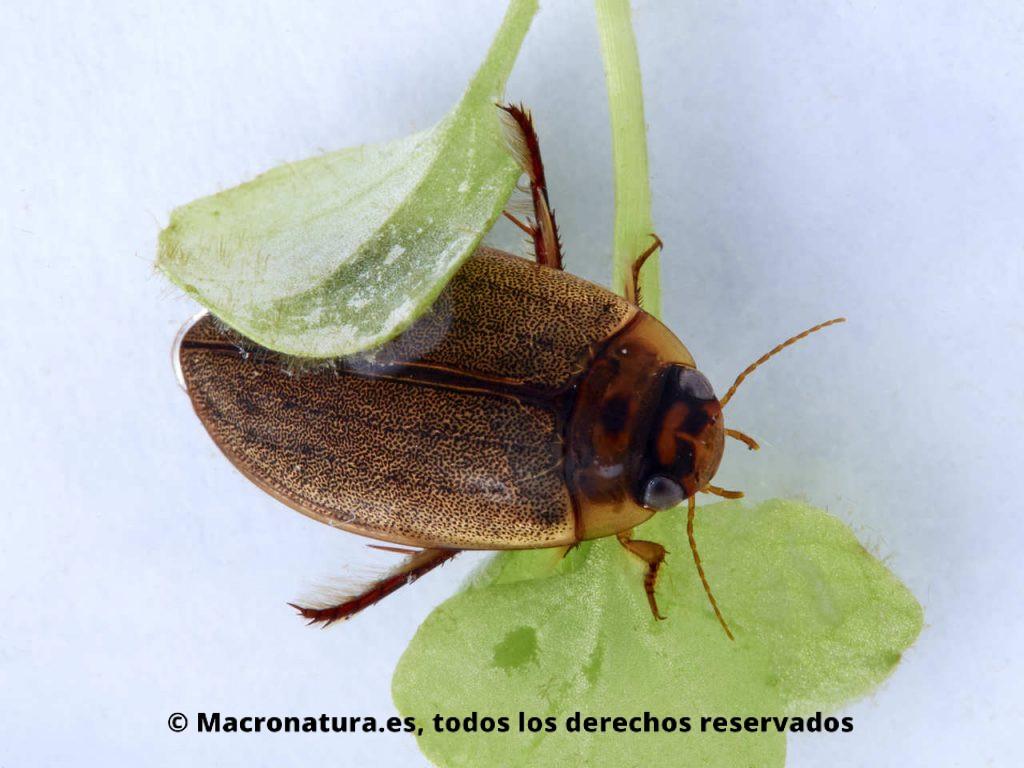 Escarabajos acuáticos Familia Dytiscidae. Rhantus suturali. Adulto.