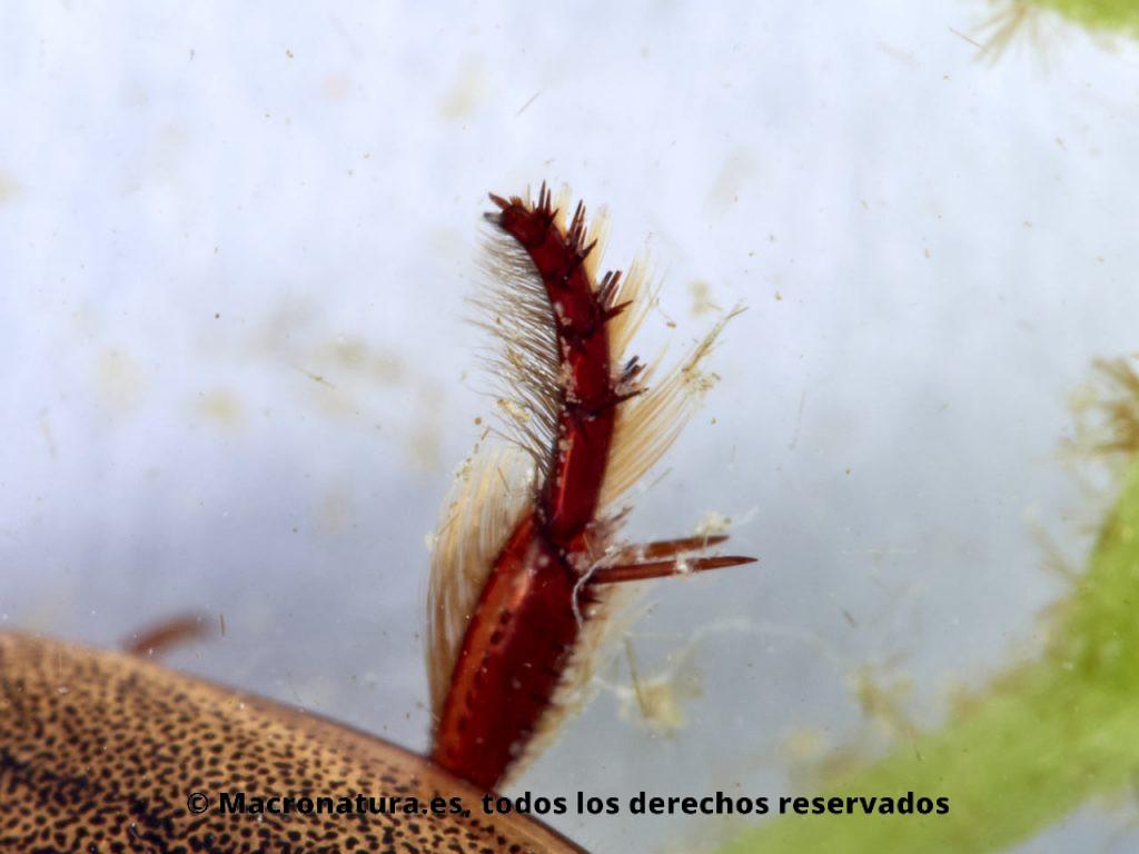 Escarabajos acuáticos Familia Dytiscidae. Rhantus suturali. Detalle pata nadadora.