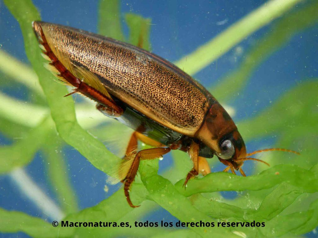 Escarabajo acuático Rhantus suturalis sobre unas plantas acuáticas. Vista lateral.