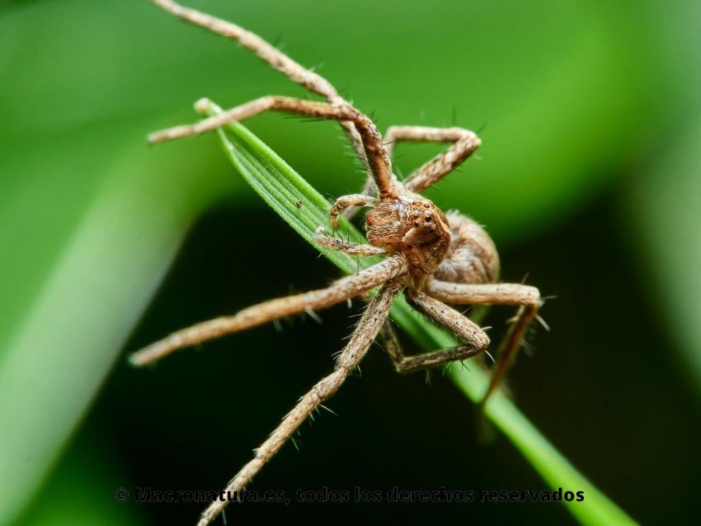 Araña ladrona Pisaura mirabilis. Detalle de ojos.