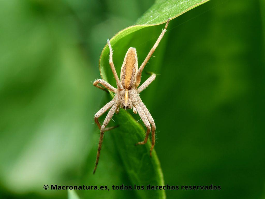 Araña ladrona Pisaura mirabilis sobre una hoja mirando hacia abajo.