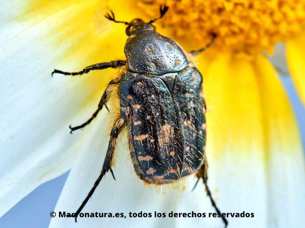 Escarabajo del Sudario Oxythyrea funesta sobre una margarita. Vista de manchas en élitros