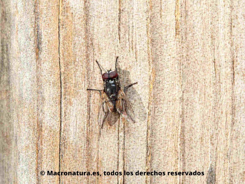 Mosca de la cara Musca autumnalis sobre un tablón de madera.