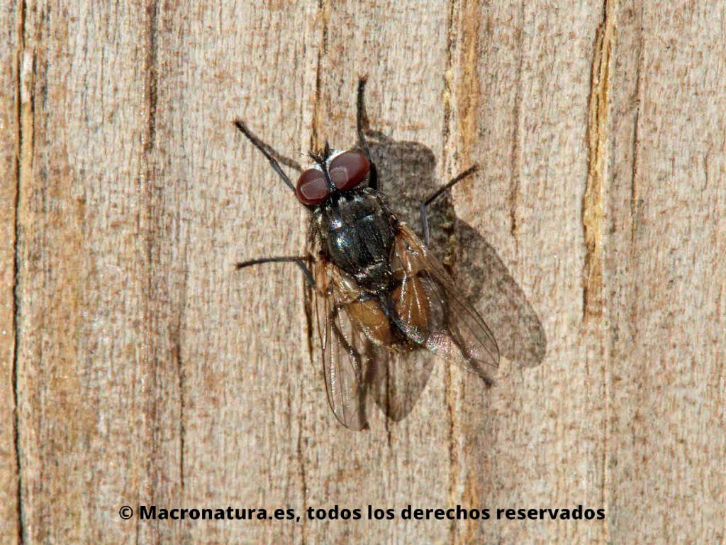 Mosca de la cara Musca autumnalis sobre un tablón de madera. Detalle de abdomen