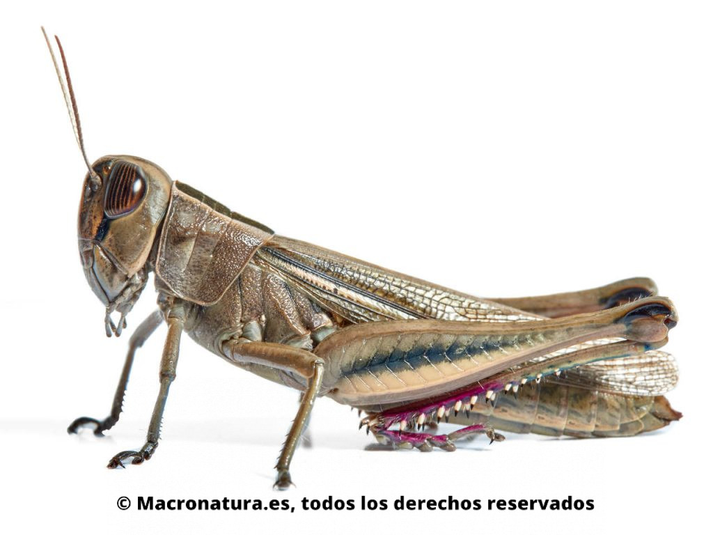 Saltamontes Eyprepocnemis plorans. Vista lateral.