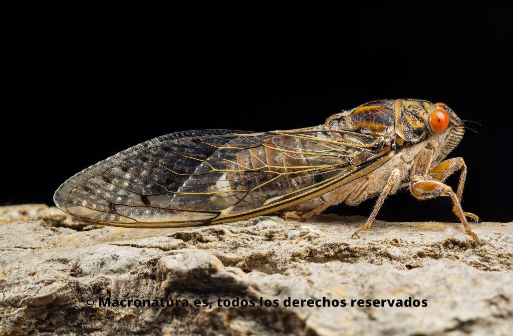 Un insecto, Chicharra con los ojos rojos y grandes alas, sobre la corteza de un árbol en un fondo negro. La imagen es horizontal. Chicharra Cicada barbara lusitanica