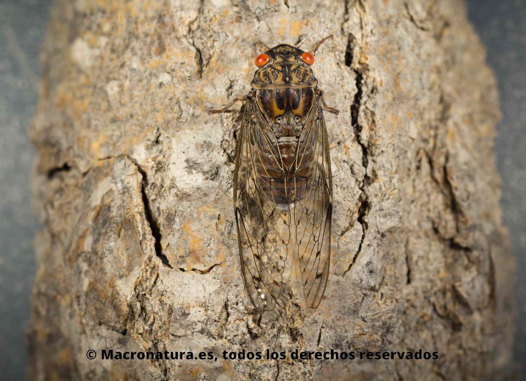Un insecto, Chicharra con los ojos rojos y grandes alas, sobre la corteza de un árbol. Imagen en vertical, posición normal en la que se encuentran en la naturaleza. Chicharra Cicada barbara lusitanica