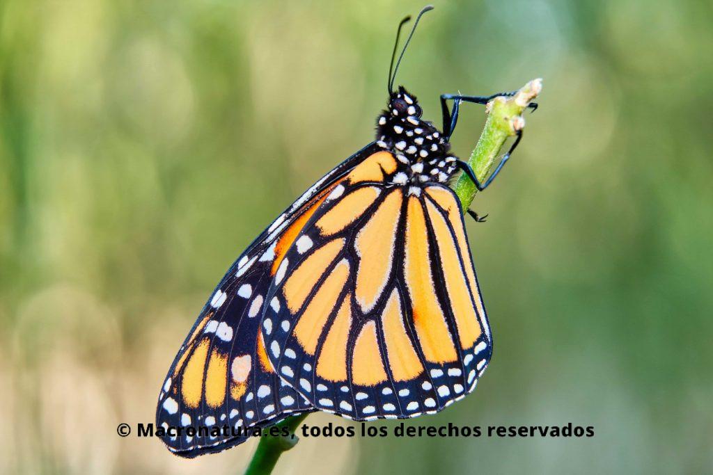 Mariposa monarca (Danaus plexippu) sobre el tallo de una planta. Vista de perfil.