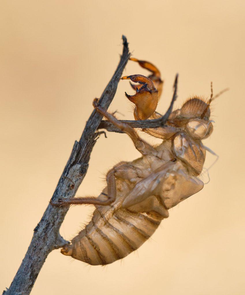 Se puede ver los restos de la piel de la muda o exuvia de la chicharra. Una vez pasan de ninfa a adulta. Chicharra Cicada barbara lusitanica  Exuvia (exoesqueleto)