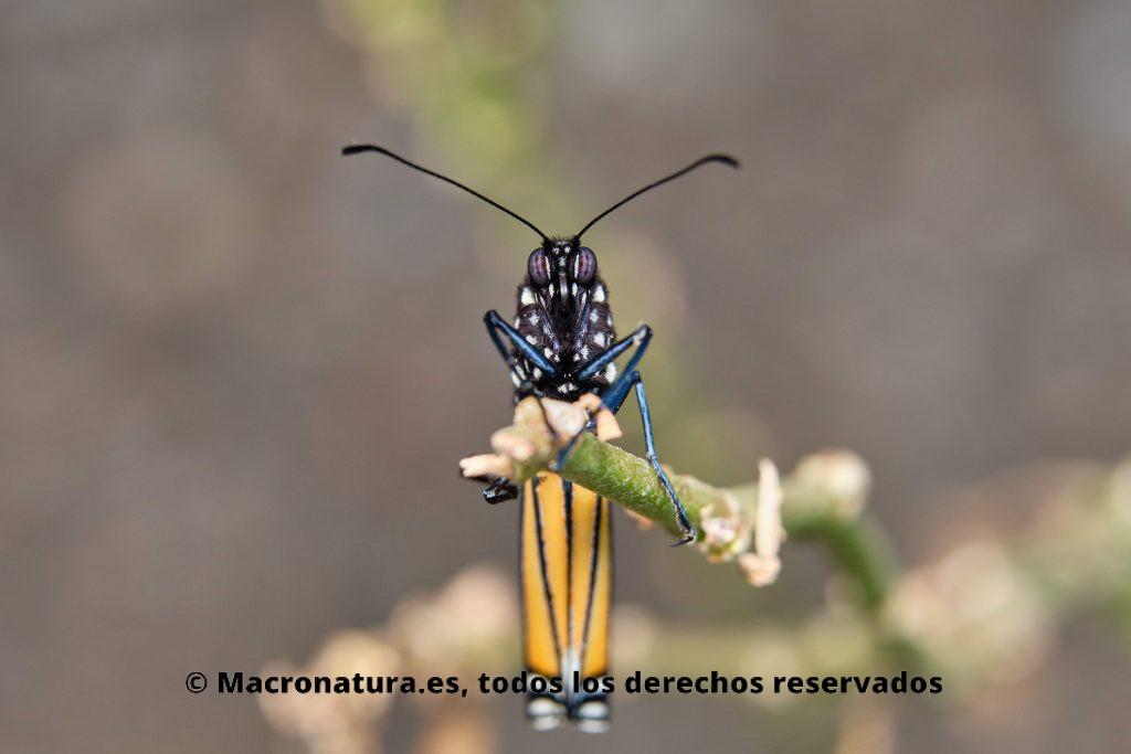 Mariposa Monarca sobre un tallo . Está de frente a la cámara con las alas plegadas.