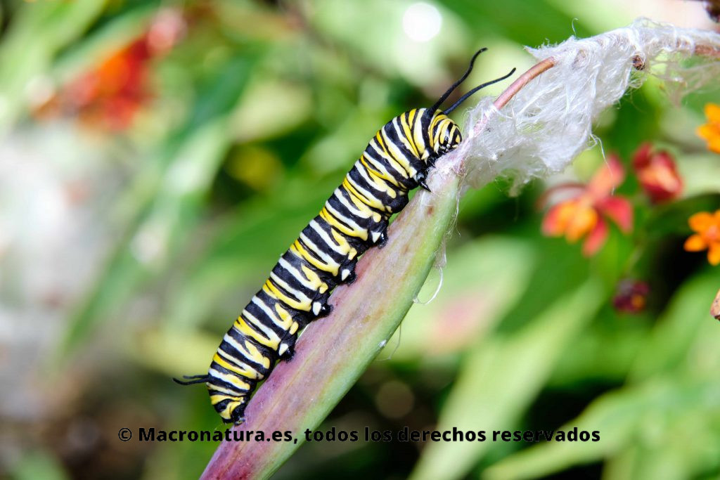 Oruga de Mariposa monarca (Danaus plexippu) sobre el tallo de una planta. Vista de perfil.
