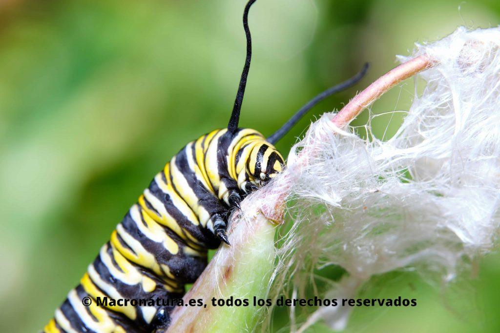 Primer plano de una oruga de Mariposa Monarca alimentándose de la planta del algodoncillo.