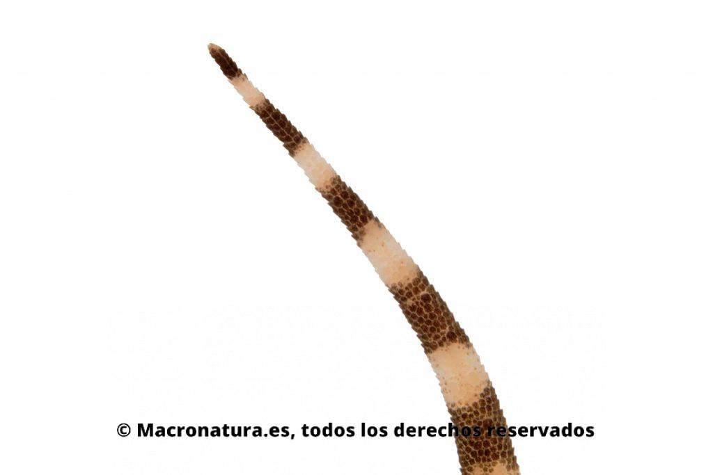 Cola de salamanquesa rosada (Hemidactylus turcicus) anillos