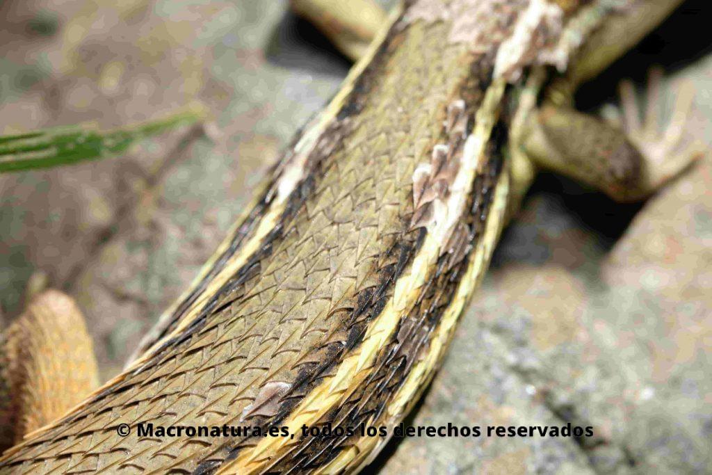 Detalle de escama carenada en Lagartija Colilarga Psammodromus algirus