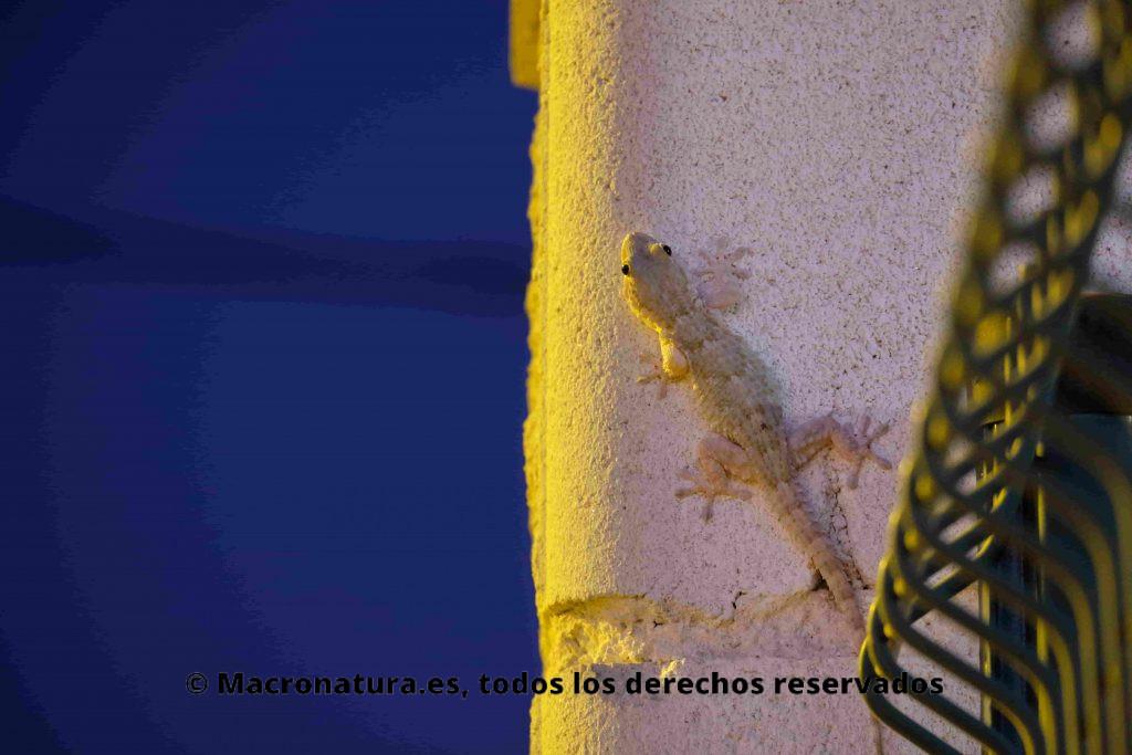 Salamanquesa rosada  Hemidactylus turcicus, en una columna cerca de una alambrada. Se observa la luz de una farola en la noche