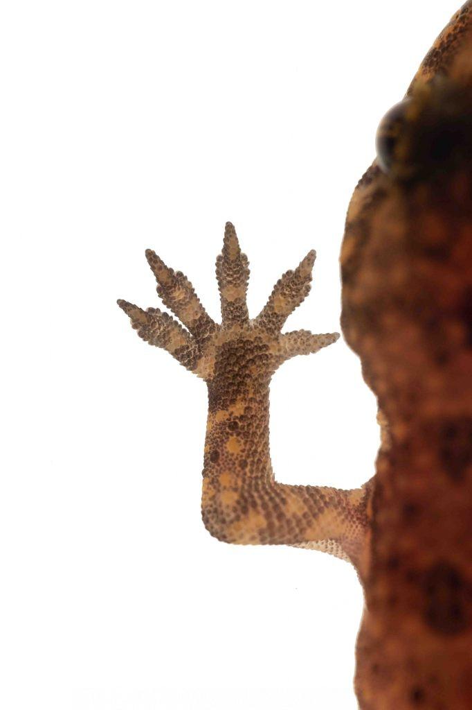 Detalle de pata de salamanquesa rosada (Hemidactylus turcicus)
