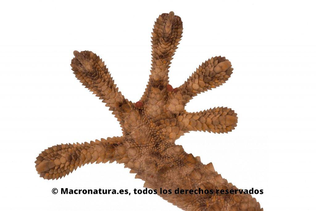 Detalle de una pata de una salamanquesa Tarentola mauritanica