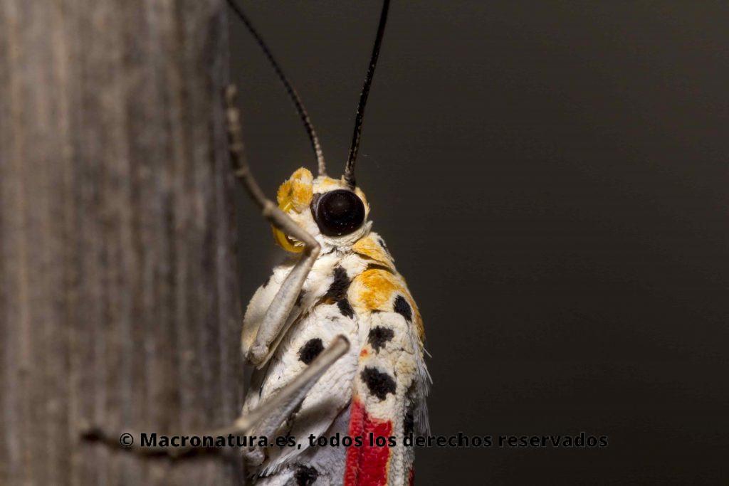 Foto macro de una  Mariposa UTETHEISA PULCHELL en una rama de una planta. La vista es lateral donde se aprecia sus alas coloridas.
