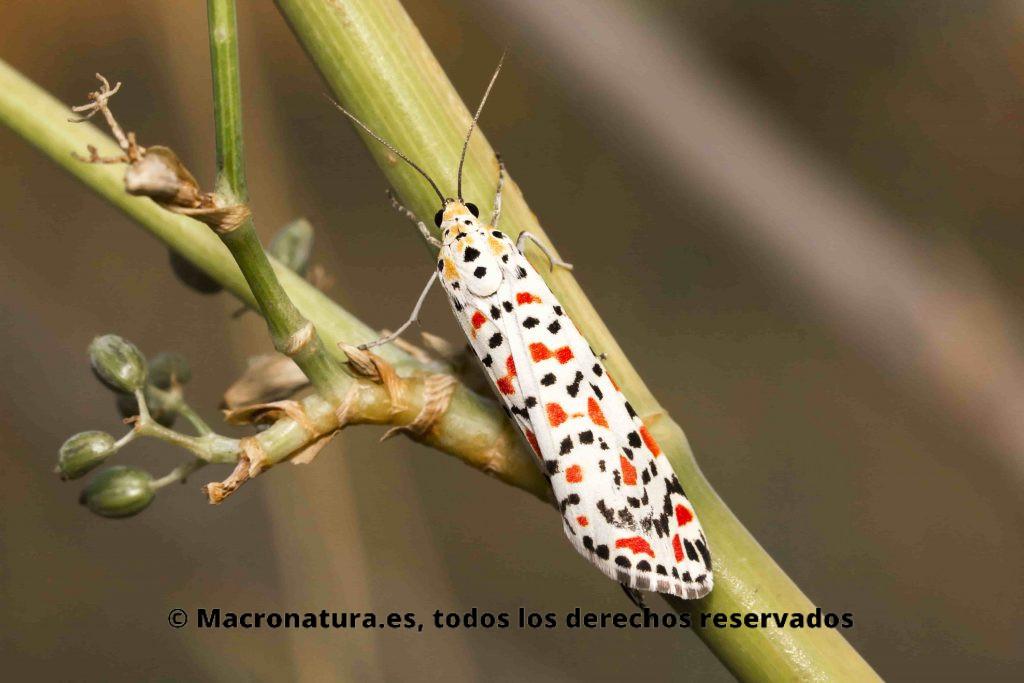 Mariposa UTETHEISA PULCHELL en una rama de una planta. La vista es lateral donde se aprecia sus alas coloridas.