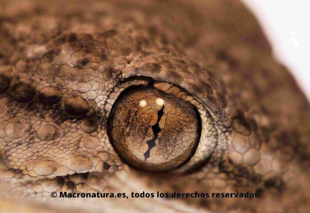 Primer plano de una Salamanquesa común Tarentola mauritanica. Detalle de ojo y pupila vertical.