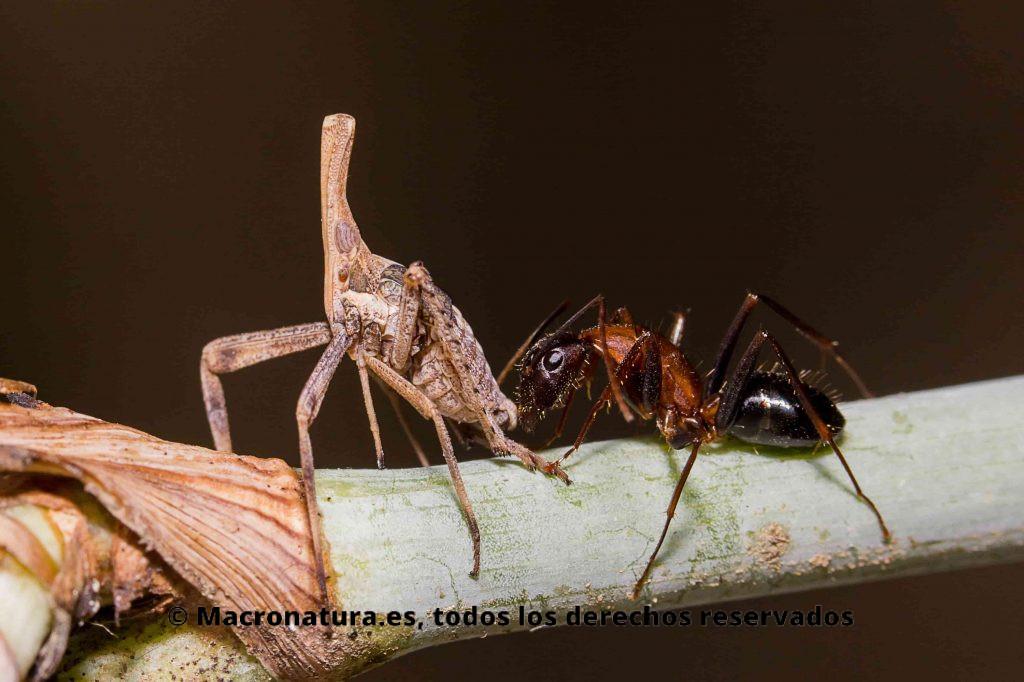 Almana Longipes en simbiosis con una hormiga. La hormiga ofrece protección a cambio de azúcar excretada.