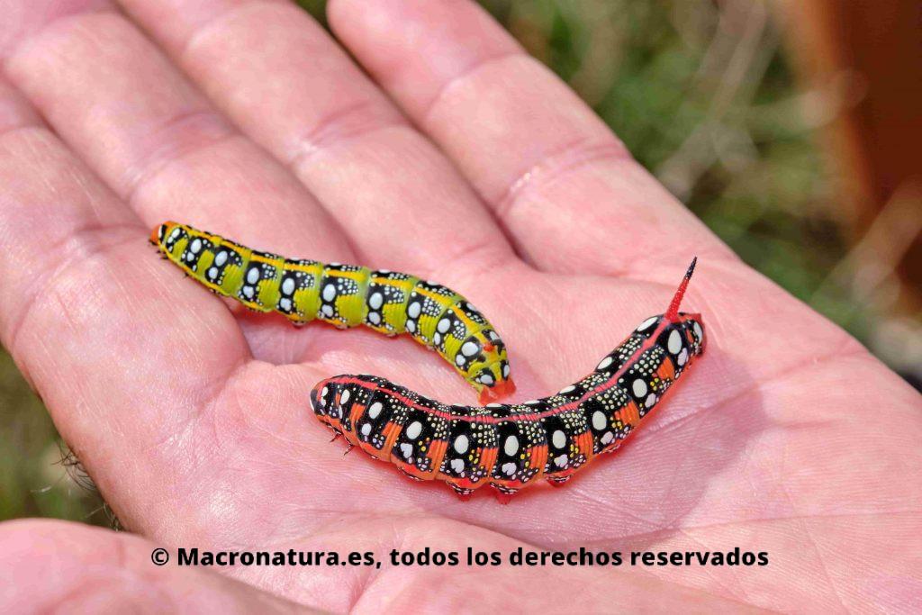 Orugas Esfinge de las Lechetreznas sobre una mano. Colores verde y amarillo, rojo y negro