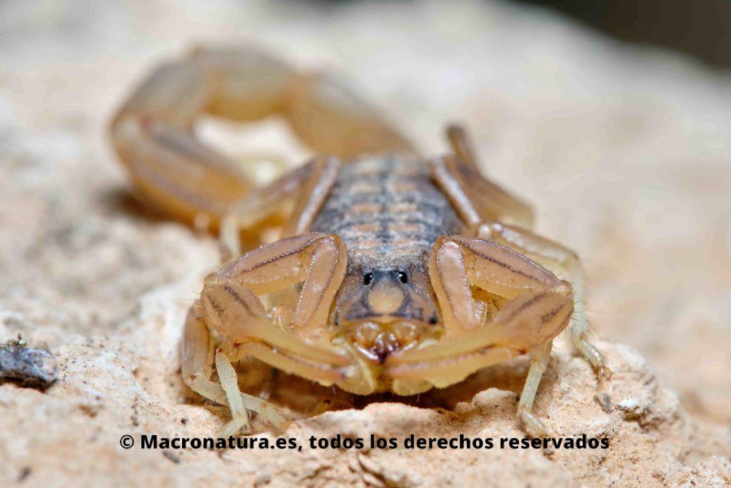 Escorpión amarillo Buthus occitanus detalle ojos