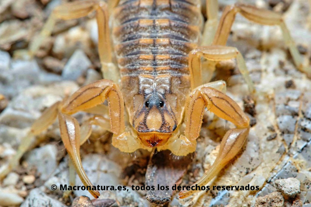 Escorpión amarillo Buthus occitanus ojos desde arriba