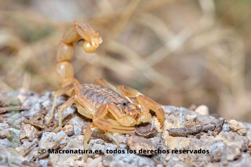 Escorpión amarillo Buthus occitanus con aguijón levantado