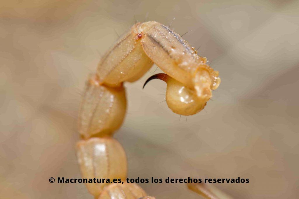 Escorpión amarillo Buthus occitanus detalle de aguijón