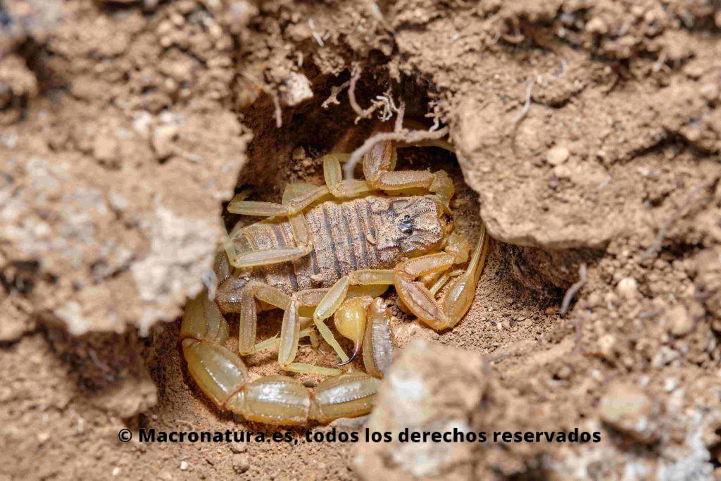 Escorpión amarillo Buthus occitanus refugiado en un hueco en la tierra