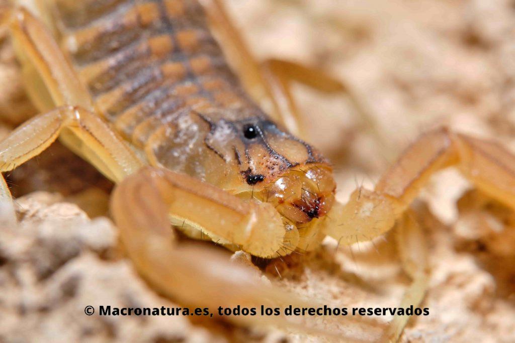 Escorpión amarillo Buthus occitanus ojos laterales