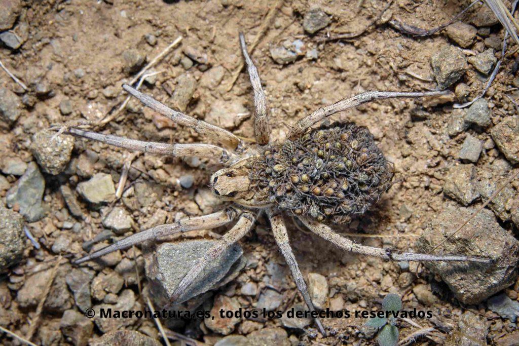 Primer plano de todas las crías de una  Araña Lobo Lycosa fasciiventris