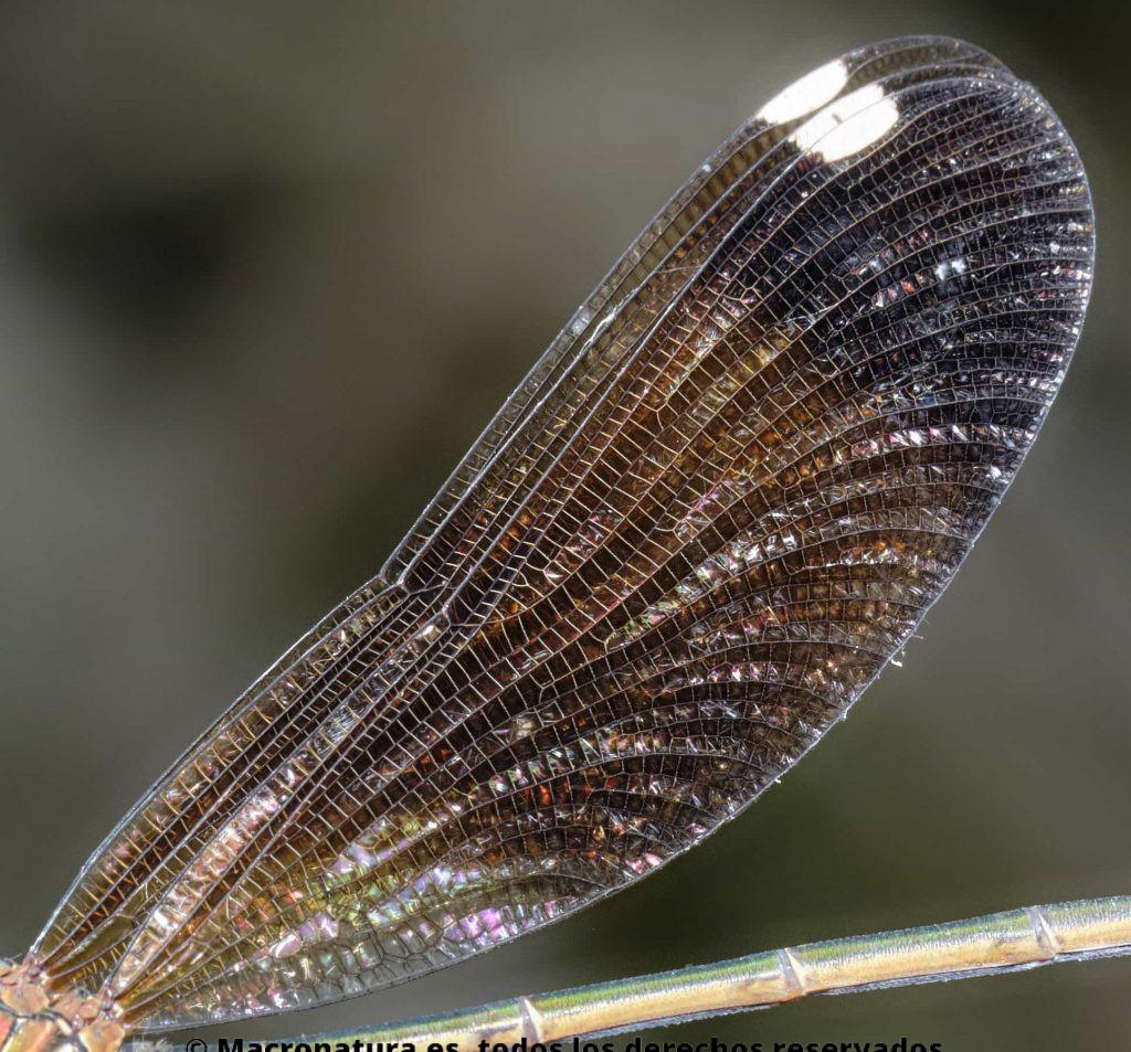 Detalle de ala de Calopteryx haemorrhoidalis hembra. Alas hiliadas.