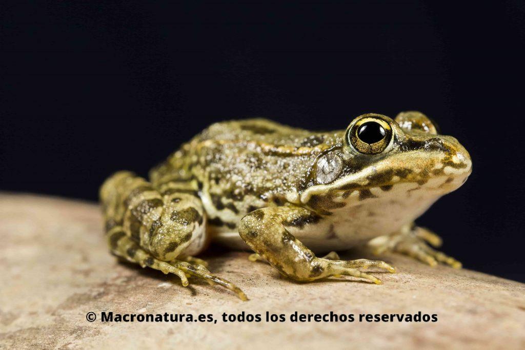 Rana común Pelophylax perezi lateral. Detalle de ojos