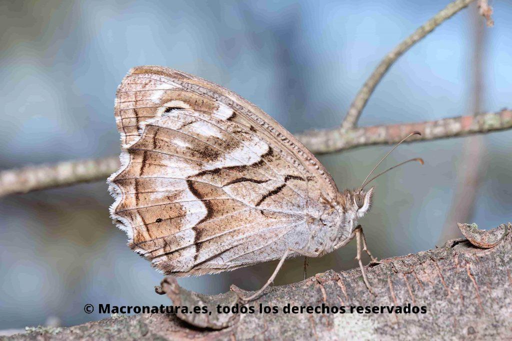 Mariposa Festón Blanco Hipparchia fidia. Lateral junto a una piedra en un tronco de un pino