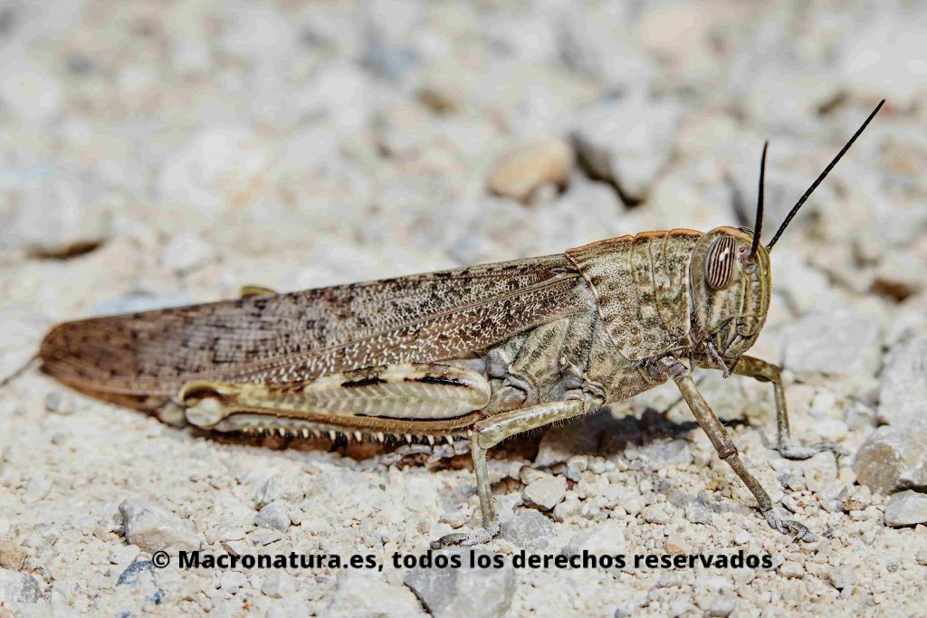 Saltamonte Anacridium aegyptium adulto