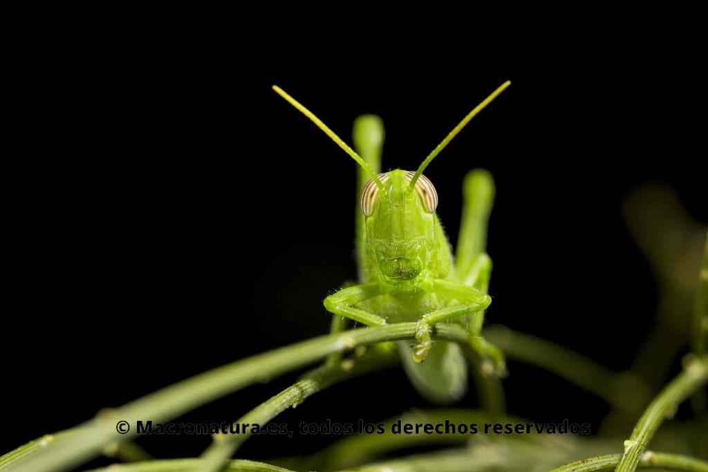 Saltamonte Anacridium aegyptium verde ninfa