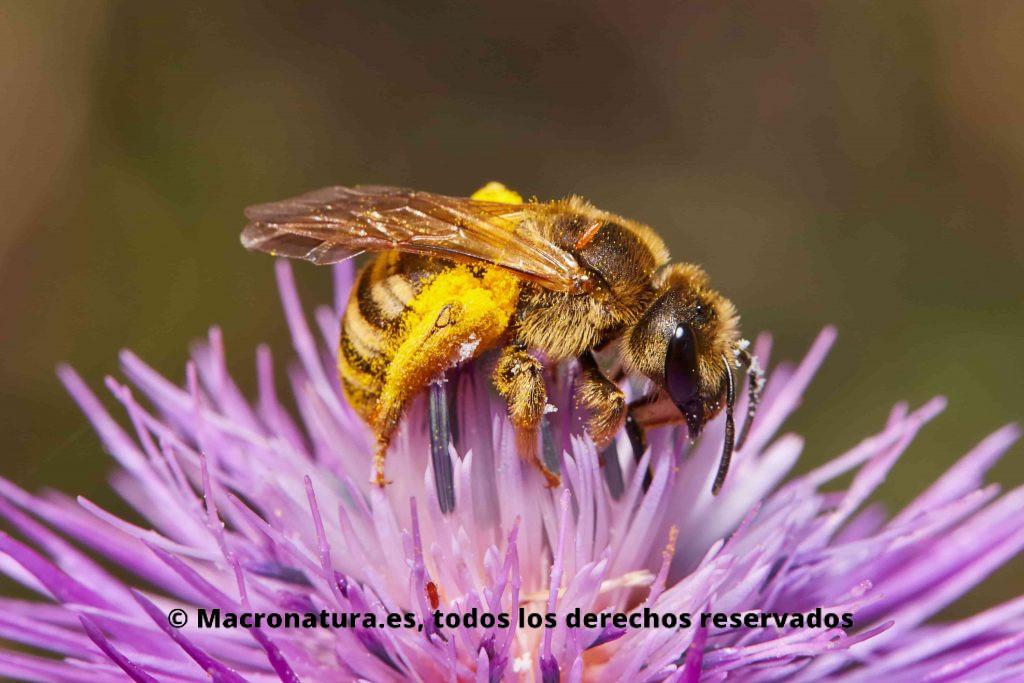 Abeja Halictus Scabiosae sobre una flor de cardo. Se aprecia en el torax un parásito. Cargada de polen en las patas traseras