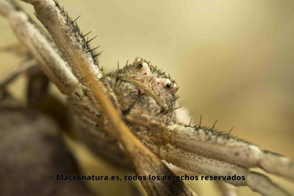 Primer plano de una Araña cangrejo del género Xysticus
