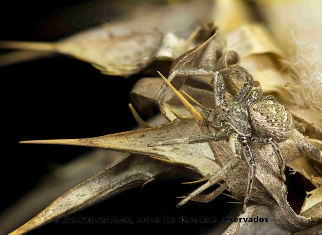 Arañas cangrejo del género Xysticus en una flor de cardo